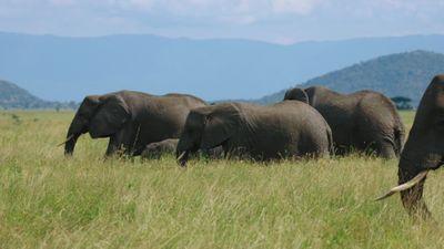 S1E1 - Elephants: Land of Tusks