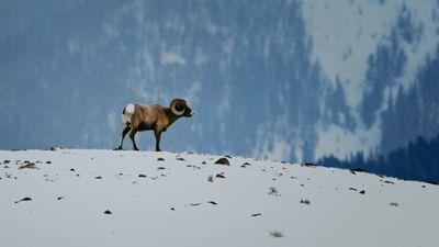 S1E3 - Bighorn Sheep: Banging Heads!